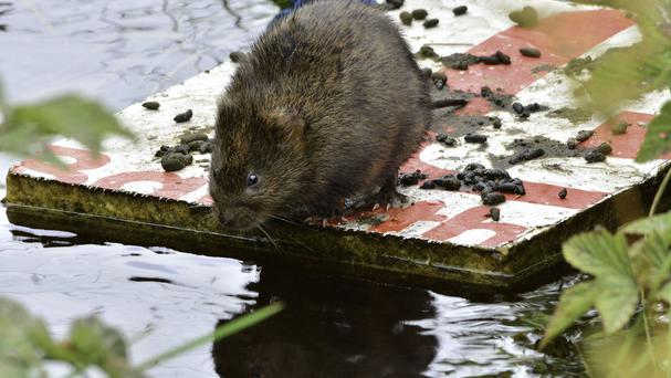 Water voles will be reintroduced into Malham Tarn in Yorkshire (National Trust/PA)