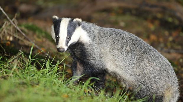 Badgers have been blamed for TB in cattle