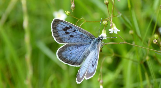 The large blue butterfly is present in large numbers in Gloucestershire and Somerset