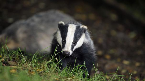 New badger culling schemes have been approved