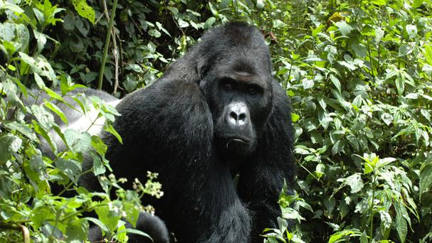 Eastern gorillas are sliding towards extinction, conservationists have warned (IUCN)