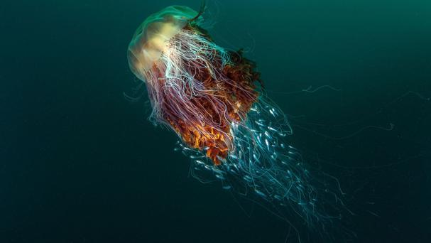 Hitchhikers (a Lion's mane jellyfish) taken by George Stoyle, the winning photograph in the Coast and Marine category and BWPA 2016 overall winner.(British Wildlife Photography Awards)