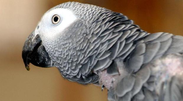 International trade in African grey parrots has been banned
