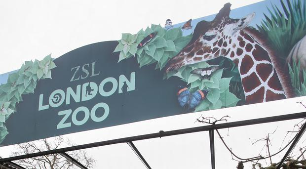 The gorilla is thought to have escaped from its enclosure at the central London zoo