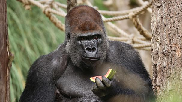 According to the zoo's website Kumbuka is one of at least seven gorillas living in its Gorilla Kingdom (ZSL London Zoo/PA)