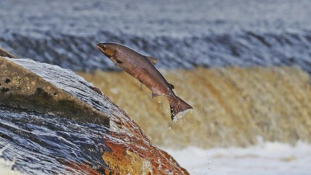 It's a once-in-a-lifetime journey for the salmon