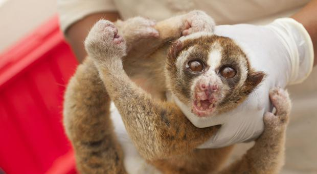 Some of the 34 critically-endangered slow loris animals seized in West Java (International Animal Rescue/PA)