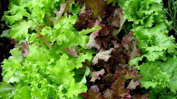 Experts warned consumers to avoid ready-cut salad where possible.