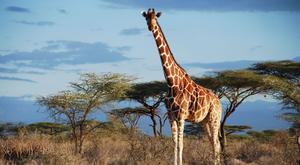 The giraffe, the world's tallest land mammal, has been classed as vulnerable to extinction