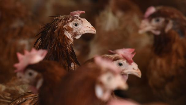 A temporary ban on events involving gatherings of poultry has been imposed across England, Scotland and Wales to prevent spread of bird flu