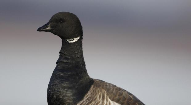 Mother light-bellied Brent geese sit on nests for longer in warmer climates, creating a higher risk of predator attack