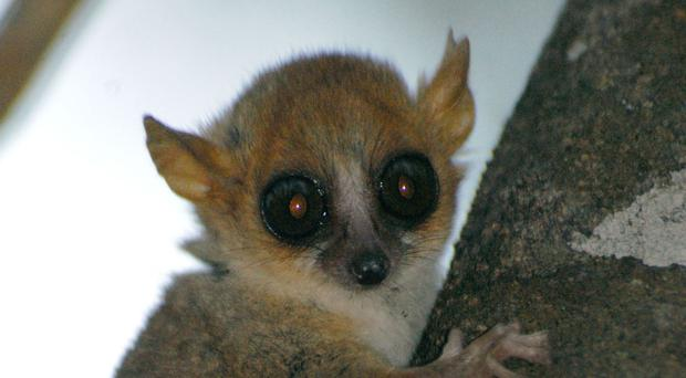 The Madame Berthe mouse lemur is one of the threatened species