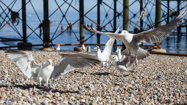A Tory MP has secured a debate about aggressive seagulls