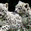 Snow leopards are endangered due to loss of habitat and poaching