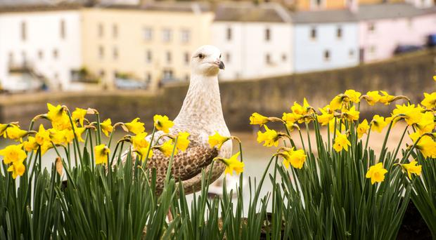 A seagull sits amongst rows of daffodils in full bloom at Tenby, West Wales