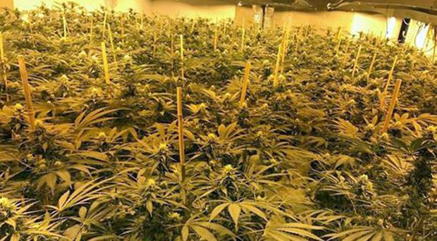 Cannabis plants found following the raid on the Chilmark underground nuclear bunker (Wiltshire Police/PA)
