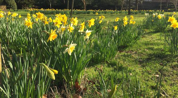 Daffodils at park in Lewes, East Sussex