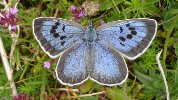 The Large Blue butterfly became extinct in 1979 and was reintroduced in the 1980s (Butterfly Conservation/PA)
