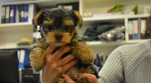 Bea, a blind Yorkshire Terrier puppy who was rescued from being put down following rejection from her breeder