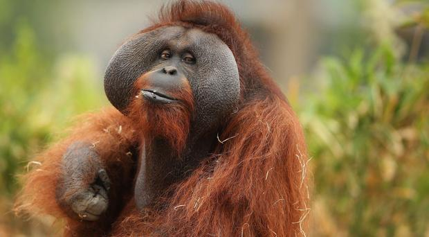 Orangutans showed no preference for any kind of music above silence, researchers found