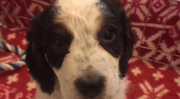 Benji the Cockapoo, who was found drowned in a bath in Gorleston, near Great Yarmouth, following a break-in.