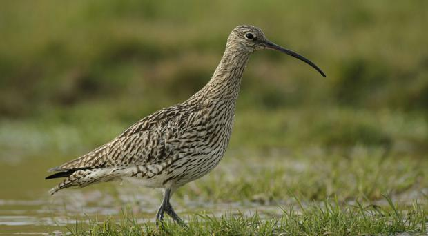 Curlews are struggling to survive (RSPB)