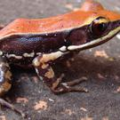 Scientists have discovered a potent anti-flu molecule in mucus secreted from the skin of the amphibian from southern India (Sanil George/Jessica Shartouny/PA)