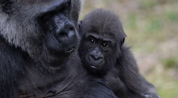 The infant is the latest gorilla born in the zoo, after Alfia