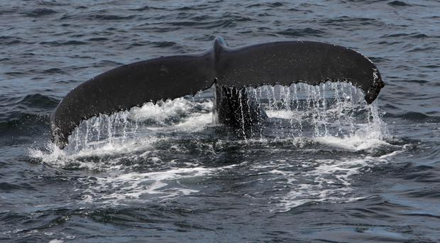 Humpback whales breed in the tropics during winter and migrate thousands of miles to summer feeding grounds in the Arctic and Antarctic