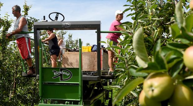 Polish workers thin trees in an apple orchard (Joe Giddens/PA)