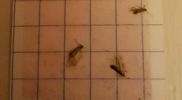 Clothes moths caught in a moth pheromone trap at a house in Morden, south-west London (PA)