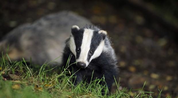 A badger featured prominently on the Belfast traffic news.