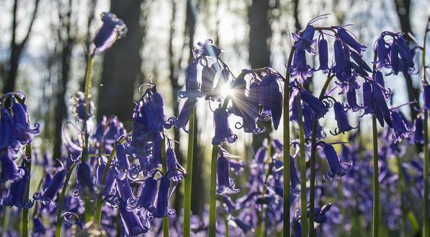 Bluebells lit by the rising sun in Micheldever Wood in Hampshire (Victoria Jones/PA)