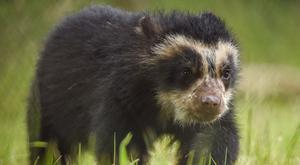 The first Andean bear to be born in mainland Great Britain (Chester Zoo/PA)