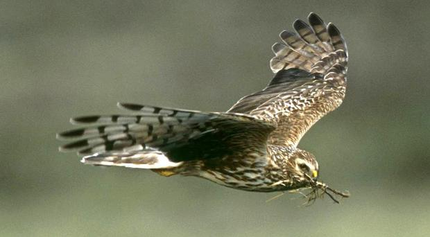 An adult female hen harrier (RSBP/PA)