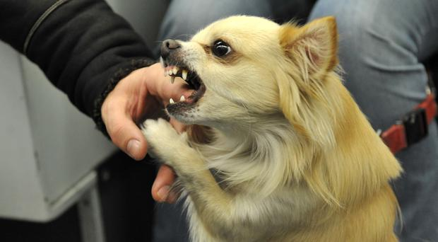 A chihuahua attempts to bite someone's finger (Clive Gee/PA)