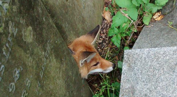 The fox was wedged between the headstones at St Mary Magdalene's Church in Leamington Spa (RSPCA/PA)