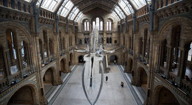 A blue whale skeleton goes on display in Hintze Hall at the Natural History Museum in London (Steve Parsons/PA)