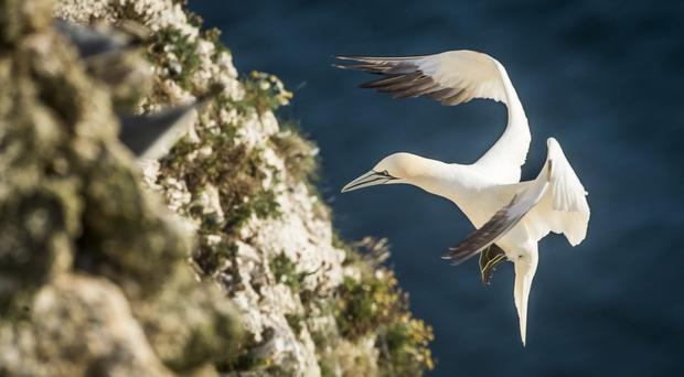 A gannet comes in to nest at Bempton Cliffs, North Yorkshire (Danny Lawson/PA)