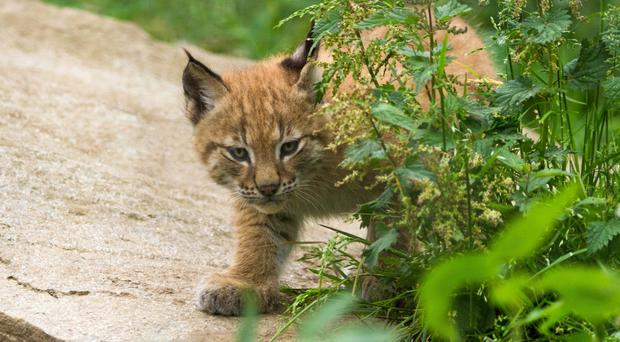 One of the northern lynx kittens in an outdoor enclosure at RZSS Highland Wildlife Park (RZSS/Sian Addison/PA)