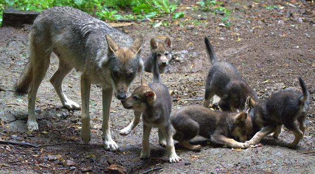 Ember gave birth to the first litter of five Eurasian Wolf cubs at the park (Cotswold Wildlife Park/PA)