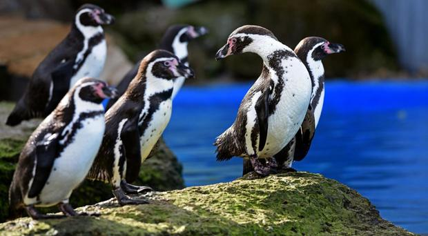 Humboldt penguins at Chessington World of Adventures, where eight penguins were slaughtered by a fox after it broke into their water enclosure (Chessington World of Adventures /PA)