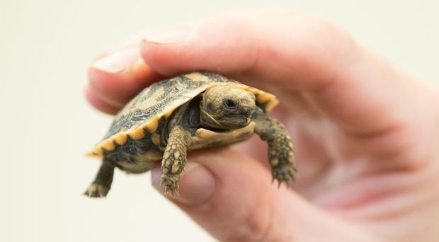 Finn the tortoise is the size of a 50p coin (Aaron Chown/PA)