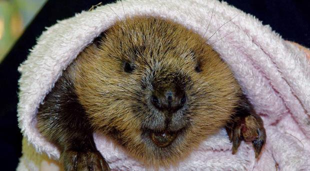 Timber the young beaver is being cared for at the Scottish SPCA's National Wildlife Rescue Centre in Fishcross (Scottish SPCA/PA)
