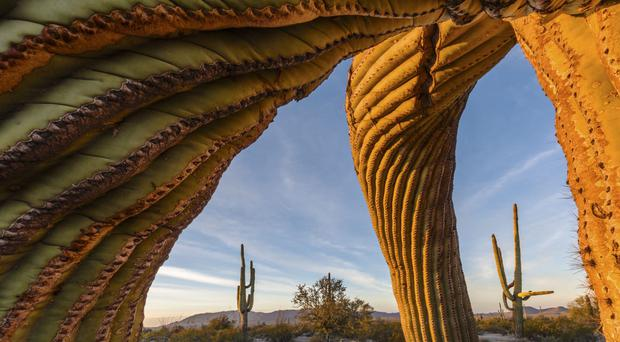 Saguaro Twist by Jack Dykinga, one of the finalists in the Wildlife Photographer of the Year (Natural History Museum/PA)