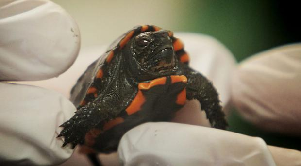 Rare keeled box turtles which have hatched at Bristol Zoo (Bristol Zoo/PA)