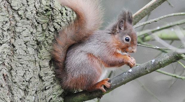 A red squirrel in the grounds of Wallington in Northumberland, as they have made a remarkable comeback on the estate after nearly being wiped out by their grey cousins (National Trust /PA)