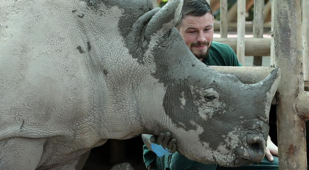 Bonnie the baby white rhino is treated to a facial mudpack by Rhino keeper Graeme Alexander in preparation for her first birthday party at Blair Drummond Safari Park (Andrew Milligan/PA)
