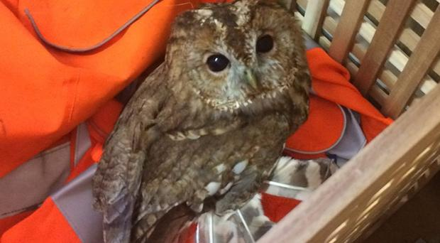 Tony the Tawny was trapped under a tree during the storm (Network Rail)