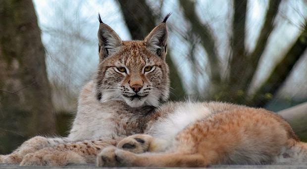 Lillith, a young Eurasian lynx which has escaped from a wildlife park in Ceredigion (Borth Wild Animal Kingdom/PA)